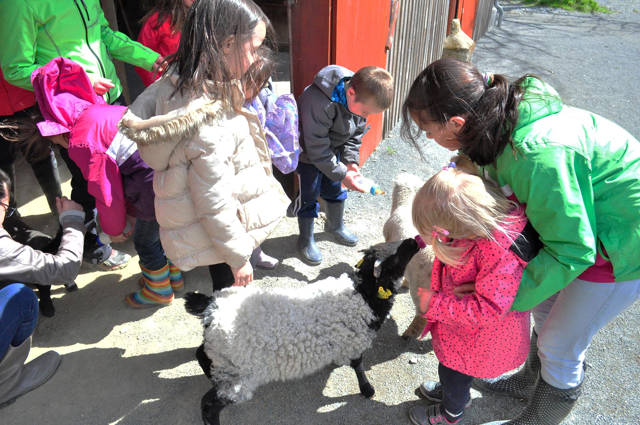 L'heure du biberon pour les agneaux !